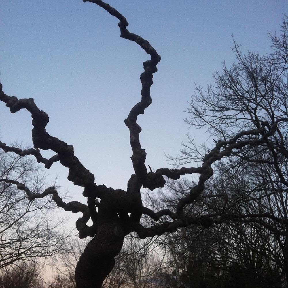 Un Sophora dénudé en hiver Chalonnes sur loire 49