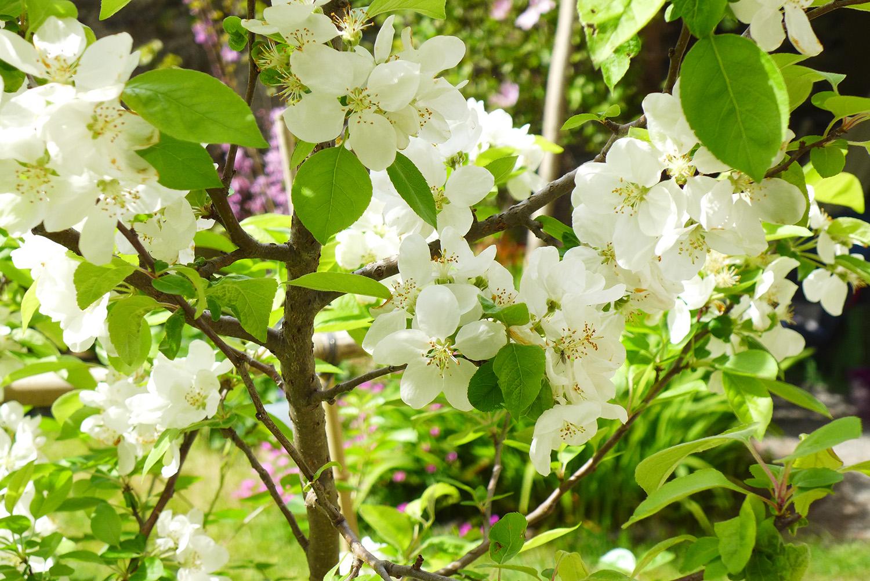 Eclosion d'un Malus everest, un petit pommier à très petites pommes décoratives. Chalonnes sur Loire 49