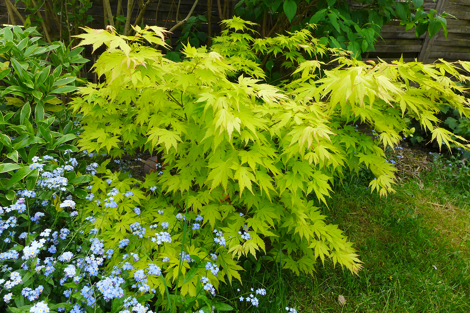 Acer palmatum 'Orange dream' au printemps