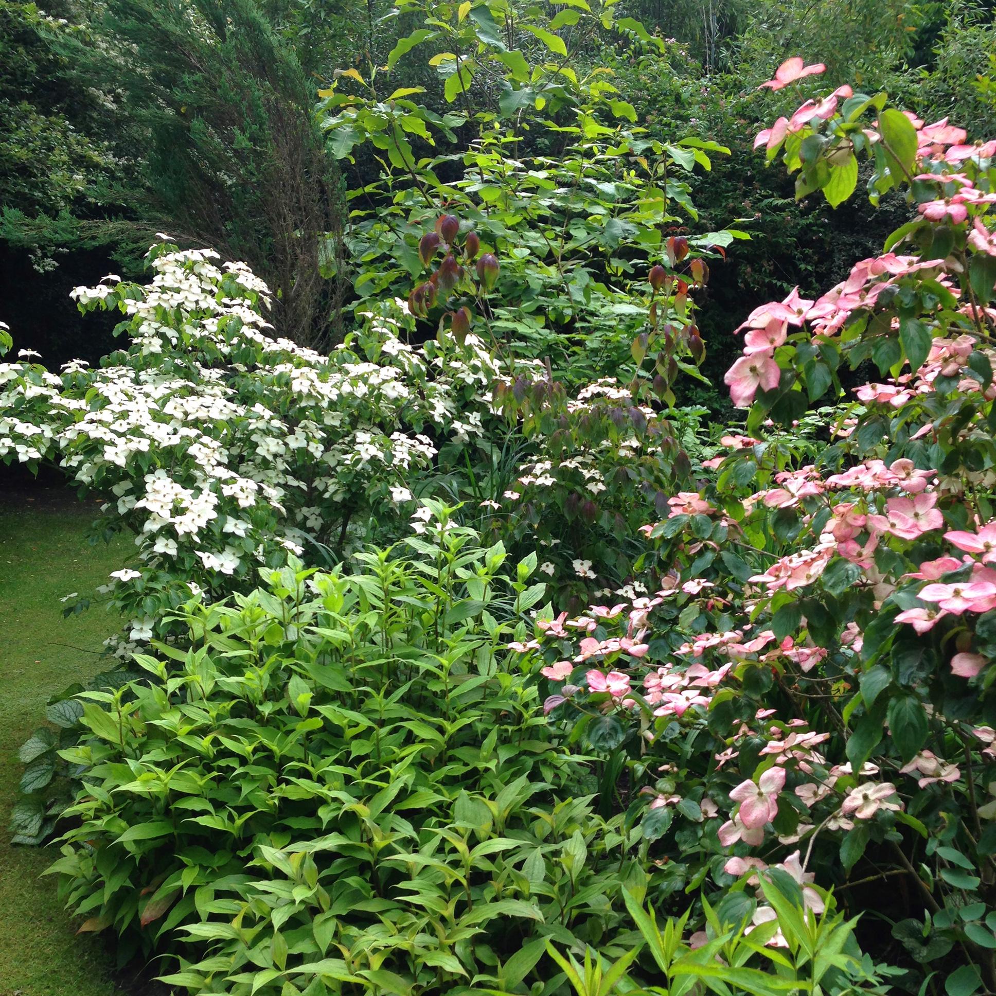 Jardin du Petit Bordeaux Cornus kousa