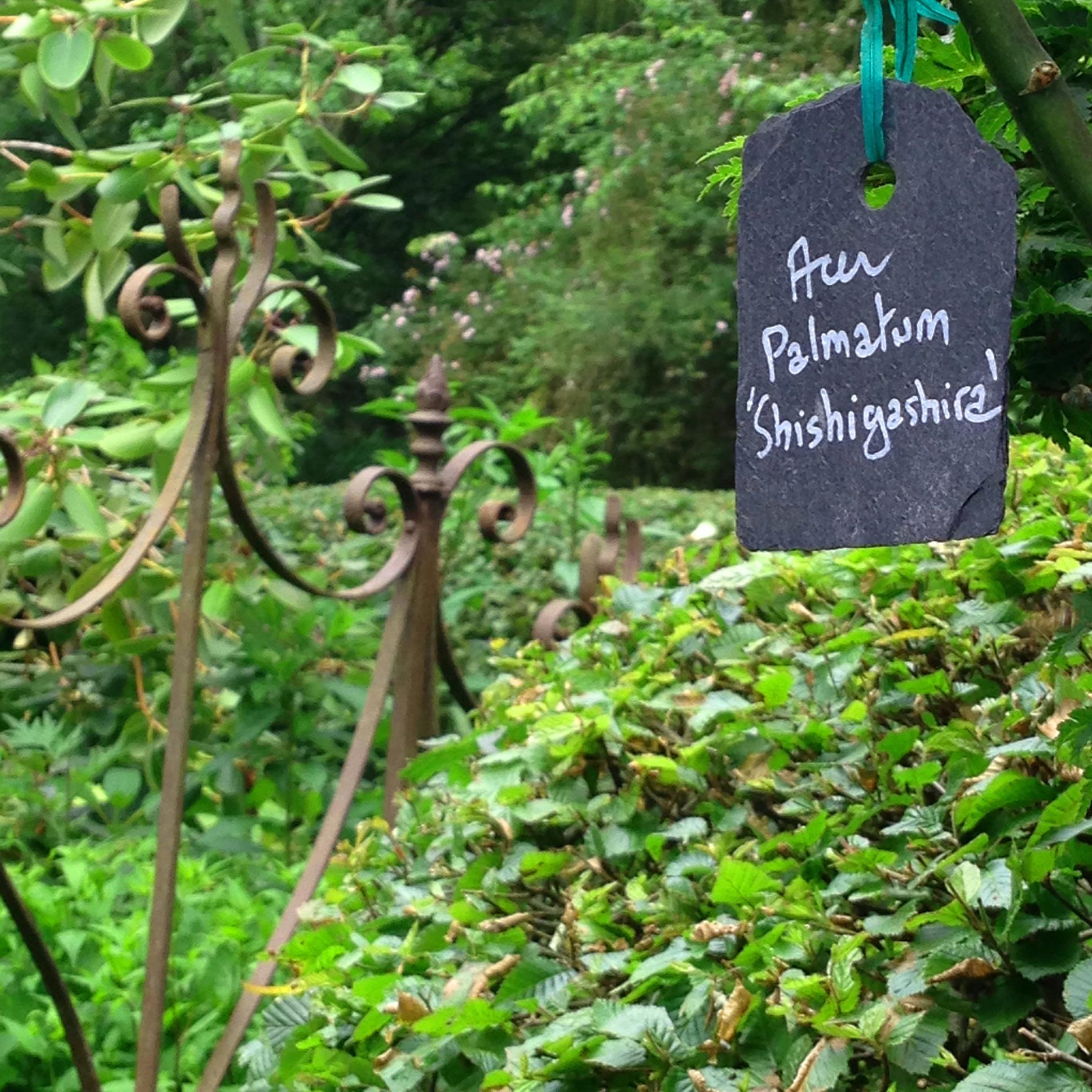 Jardin du Petit Bordeaux Acer palmatum