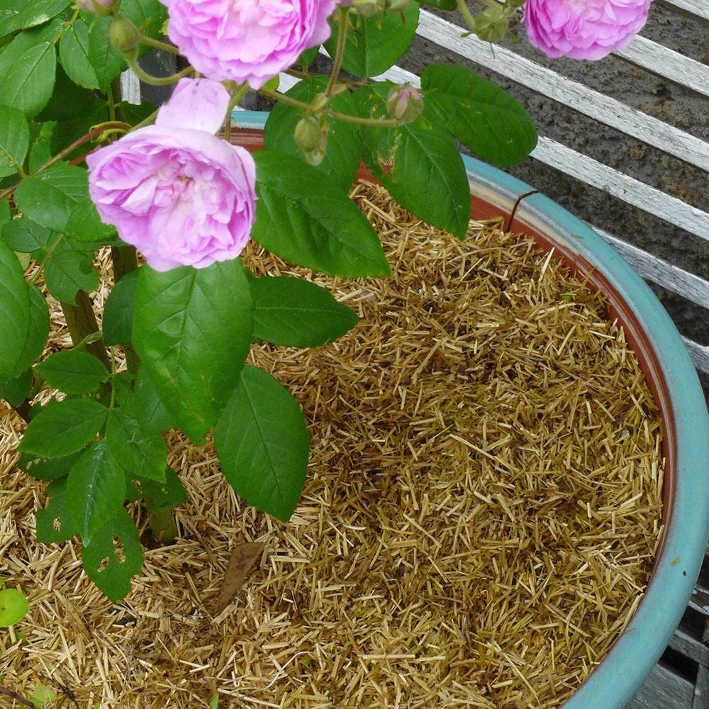 Paillis de lin au pied d'un Rosier en pot, Chalonnes sur Loire 49