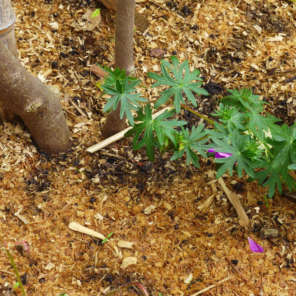 Paillis de sciure de bois au pied d'un Magnolia 'Susan', Chalonnes sur Loire 49